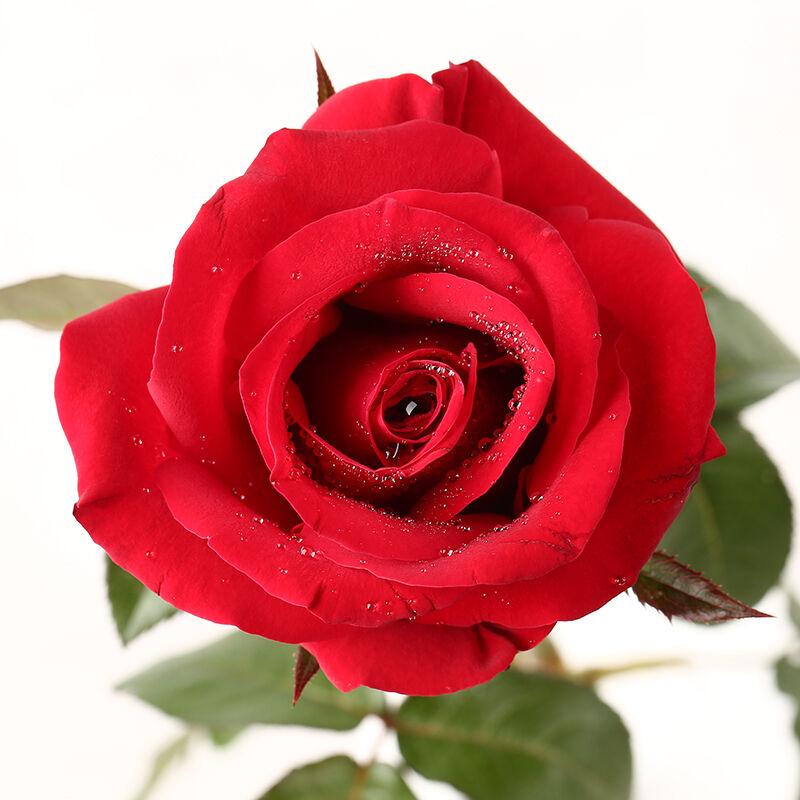 恰似温柔-11支精品红玫瑰