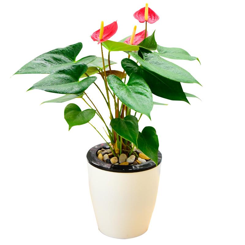 热情似火-红掌小盆栽