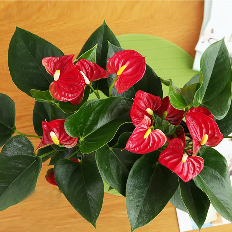 火热激情-红掌桌面大盆栽