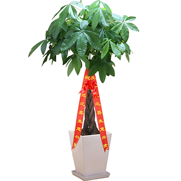 门庭闹-发财树大型盆栽